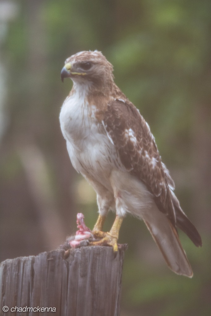 Hawk! (Looks like a red tailed hawk)